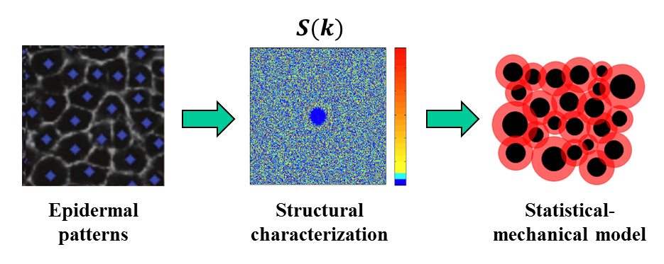 """""""Structural Characterization and Statistical-Mechanical Model of Epidermal Patterns"""" is published in Biophysical Journal"""