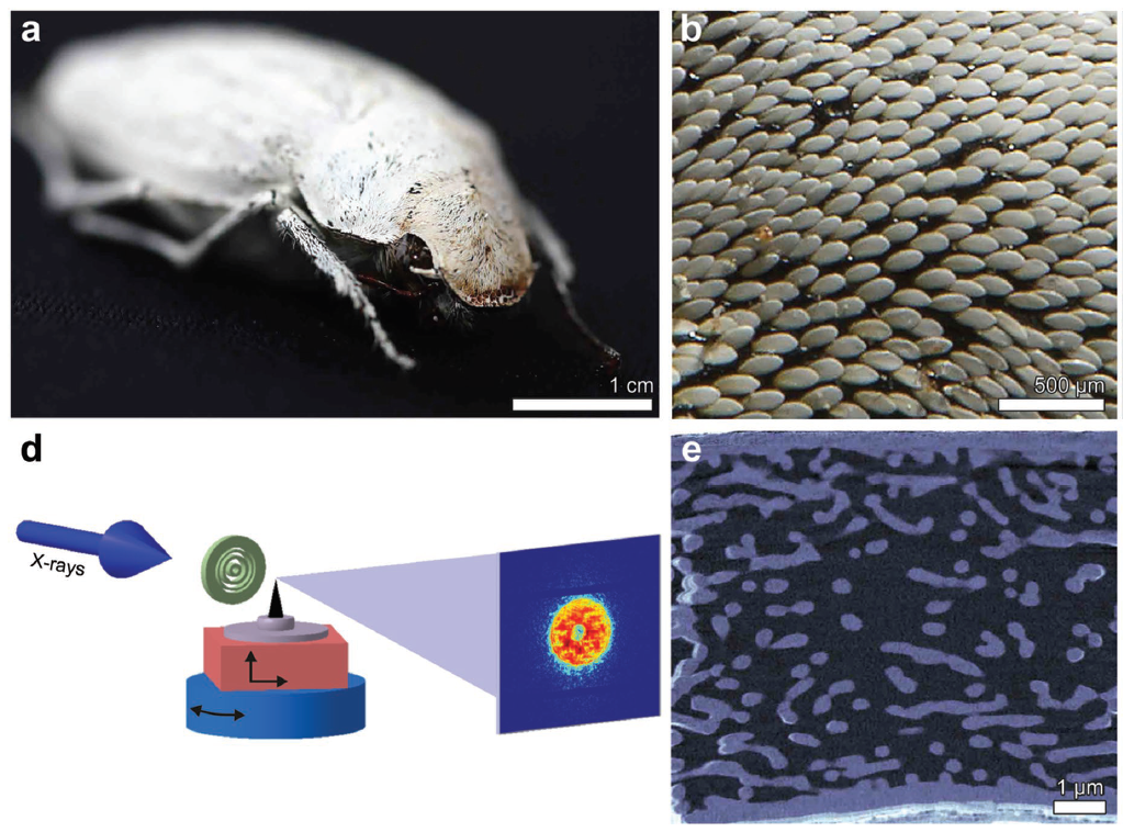 """""""Evolutionary-Optimized Photonic Network Structure in White Beetle Wing Scales"""" is published in Advanced Materials"""